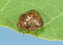 Kudzu bugs are invasive insects from Asia that arrived in Atlanta in 2009. They have been found in nearly every Mississippi county and across the Southeast to Arkansas and Louisiana. (Photo by MSU Extension Service/Blake Layton)