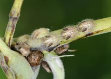 Brown adult and light-colored nymph kudzu bugs are visible on this plant stem. The invasive insects feed on kudzu and soybean plants and can irritate human skin upon contact. (Photo by MSU Extension Service/Blake Layton)