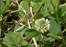 A bee feeds on clover in the pollinator project garden at the Mississippi State University R.R. Foil Plant Science Research Center in Starkville June 16, 2015. (Photo by Kevin Hudson/MSU Ag Communications)
