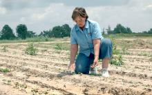 Peggy Thaxton, a Mississippi State University cotton breeder at the Delta Research and Extension Center in Stoneville, checks cotton in a research plot.