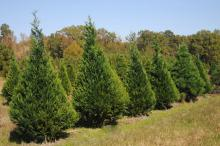 Trees at the Swedenburg Christmas Tree Farm in Columbus appear to be in good shape for the 2009 holiday season. Many Mississippi growers expect sales to increase because of travel cutbacks and plans to stay home. (Photo by Kat Lawrence)