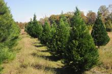Mississippi growers will have a good crop of trees to sell this holiday season. Most choose-and-cut farms will open on Thanksgiving Day, and the rest will be open by the Saturday after Thanksgiving. (Photo by Kat Lawrence)