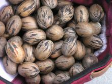 Tropical Storm Lee's rains saved much of this year's pecan crop and growers are expecting good yields. (file photo)
