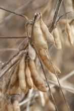 The U.S. Department of Agriculture forecasts Mississippi farmers to plant 1.75 million acres of soybeans, down by 70,000 acres in 2011. This will mark the third consecutive year of reduced soybean acreage in the state. Soybeans remain the leader in the state's planted acreage. (2011 Photo by Kat Lawrence)