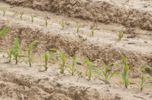 Warm temperatures starting in February allowed Mississippi's corn crop to get an early start, and 90 percent of planned acreage was in the ground by mid-April. (Photo by Scott Corey)
