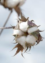 Warm spring weather allowed growers to get into the field early, and Mississippi's 2012 cotton crop is off to an early start. (Photo by MSU Ag Communications/Kat Lawrence)