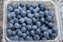 Mississippi's blueberry growers benefitted from ideal weather conditions that resulted in abundant, high-quality fruit, an early harvest and strong market prices. (Photo by MSU Ag Communications/Kat Lawrence)
