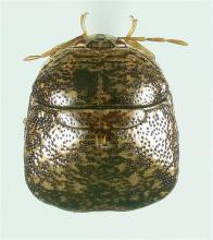 Adult kudzu beetles are about the size of a green pea, oval shaped and brown to light green in color. They damage soybeans by feeding on the plants' sap, which can reduce seed size, number of seeds per pod and overall number of pods. (Photo by USDA-ARS/Joe Eger)