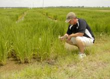 Paxton Fitts, research associate with the Mississippi Agricultural and Forestry Experiment Station, examines rice growing in a variety trial at Mississippi State University's Delta Research and Extension Center in Stoneville, Miss., on July 16, 2013. (Photo by MSU Ag Communications/Linda Breazeale)