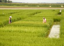 Jennifer Corbin and Lee Atwill, research associates with the Mississippi Agricultural and Forestry Experiment Station, assess rice heading in variety trials growing at Mississippi State University's Delta Research and Extension Center in Stoneville, Miss., on July 16, 2013. (Photo by MSU Ag Communications/Linda Breazeale)