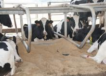 These Holstein dairy cows at Mississippi State University's Joe Bearden Dairy Research Unit near Starkville, Miss., were lounging Wednesday, Sept. 11, 2013, on sand-filled beds that help keep them cool in the summer. (Photo by MSU Ag Communications/Kat Lawrence)