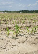 Frequent rains are putting much of Mississippi's corn planting about two weeks behind schedule. This corn was planted March 14 and was growing on the Mississippi State University R.R. Foil Plant Science Research Center in Starkville, Mississippi, on April 21, 2014. (Photo by MSU Ag Communications/Kat Lawrence)