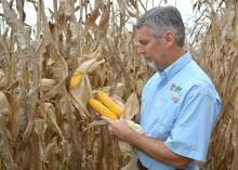 Erick Larson, state corn specialist with the Mississippi State University Extension Service, assesses corn ears before harvest in a test plot on Sept. 12, 2014, at the Rodney Foil Plant Science Research Center near Starkville, Mississippi. (Photo by MSU Ag Communications/Linda Breazeale)
