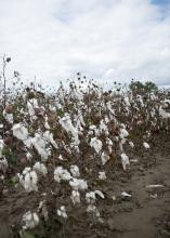 Cotton dislodged from bolls by heavy rains can still be harvested unless it is washed to the ground. This photo was taken Oct. 14, 2014, at the Mississippi State University Rodney Foil Plant Science Research Center in Starkville. (Photo by MSU Ag Communications/Kat Lawrence)