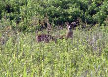 White-tailed deer, such as this buck grazing in a Bolivar County, Miss. field, play an important role in the larger ecological landscape and are part of the public trust. (File photo by MSU Extension Service/Bill Hamrick)