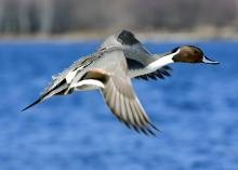 Pintails are among the first ducks to migrate south in the fall, just in time for the start of Mississippi's waterfowl hunting season. (Photo by iStock)