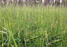 Multiple types of forage can benefit cool-season food plots, but ryegrass can take over, such as in this food plot originally planted with red clover. (Photo courtesy of Bronson Strickland)