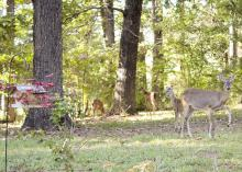 While well-intended, feeding wildlife may attract unwanted problems, such as predators and nuisance wildlife. (Photo by Marina Denny)