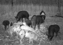 Before building a trap, landowners and managers should use whole-kernel, shelled corn to establish bait sites that attract wild hogs. (Photo courtesy of Rob Holtfreter)