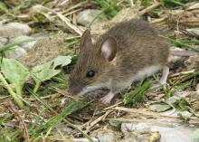 Mice and other rodents need food and shelter. Human environments can provide both if steps are not taken to exclude the pests from homes and other buildings. (Photo by iStock)