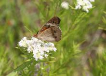 Using native plants in the landscape will attract a variety of pollinators, such as this buckeye butterfly. (Submitted photo)