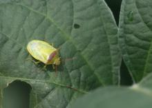 Redbanded stinkbugs, such as this pest seen Aug. 17, 2017, on a soybean plant at the Delta Research and Extension Center in Stoneville, Mississippi, are very damaging, invasive pests showing up in large numbers this year in fields across the Southeast. (Photo by MSU Delta Research and Extension Center/Don Cook)