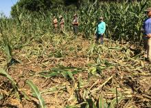 Five men stand in a cornfield around a large area of corn trampled down by wild hogs.