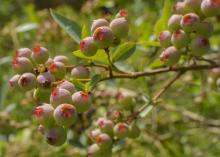 These blueberries at the Blueberry Patch in Starkville, Mississippi, are shown in a fruit coloring stage on May 17, 2017. Mostly warm winter conditions caused this year's harvest to be unusually early in most parts of the state. (Photo by MSU Extension Service/Kevin Hudson)