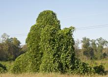 Kudzu is one of many invasive species of plants, insects, fish and mammals competing with Mississippi's native species for resources. (File photo by MSU Ag Communications/Kat Lawrence)