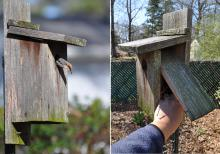 Brown-headed nuthatch (left) inspecting a recently cleaned-out nest box in a backyard in Clinton, Mississippi. Nest boxes with easy access doors make cleaning the boxes for the new breeding season simple and quick. (Photos by MSU Extension Service/Adam T. Rohnke).