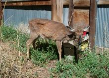 This Wyoming deer suffers from chronic wasting disease, a highly contagious illness that is now present in 23 states. Although the disease is undocumented in Mississippi, it poses a real, potential threat to the state's deer herd. (Photo Credit: Wyoming Game and Fish Department and the CWD Alliance)