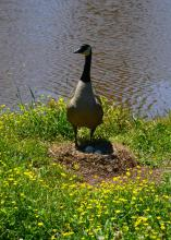 During late spring and early summer, spectators and photographers should limit stress for nesting birds, such as this Canada goose near a pond in Oktibbeha County, Mississippi, on May 7, 2017. (Photo by MSU Extension Service/Linda Breazeale)