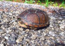 Retreating into its shell will not protect this box turtle from most road dangers. If conditions are safe, render aid by moving or encouraging snakes and turtles off roads in the directions they are already headed. (Photo by MSU Extension Service/Evan O'Donnell)
