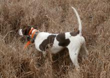 A bird dog is on point in tall grass as it detects quail.