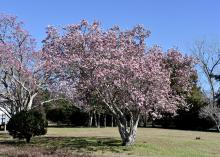 Saucer magnolias are considered to be small trees and can be pruned after flowering to control their size. (Photo by MSU Extension/Gary Bachman)