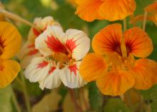 Nasturtiums such as this mixed selection is an old-time flower that is easy to grow. Along with their beauty, nasturtiums are versatile, require very little attention and are edible, the trifecta of flower characteristics. (Photo by MSU Extension/Gary Bachman)