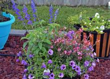 Containers can be planted at any time of year. This summer combination has tall Salvia Playin' the Blues in the back, Gaura Karalee Petite Pink providing interest in the front, and Supertunia Bordeaux filling in all the extra space. (Photo by MSU Extension/Gary Bachman)
