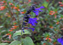 The Black and Bloom salvia is one of the first summer perennials to start blooming. This tough plant survives and thrives in hot summers. (Photo by MSU Extension/Gary Bachman)