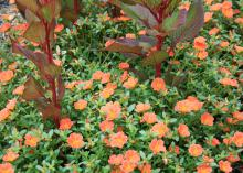 Purslane is an old succulent that thrives in high summer temperatures. New varieties, such as this Pizazz Tangerine purslane paired with New Look celosia, are perfect flowering annuals for hot and humid summers. (Photo by MSU Extension/Gary Bachman)