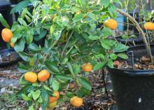 Satsuma oranges are winter favorites that grow well in Mississippi. Their heavy fruit load can overwhelm small trees. (Photo by MSU Extension/Gary Bachman)