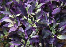 The Purple Flash ornamental pepper plant has purple and green foliage.