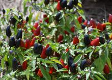 This Black Hawk pepper plant has red to black peppers with green foliage.