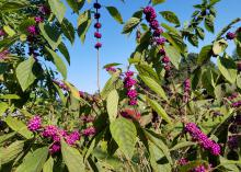 American beautyberry, a native shrub with tiny flowers and prolific berries, is excellent in home landscapes.