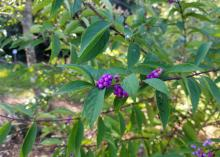Japanese beautyberry has bright-purple berries held out from the branches on small stems, unlike those of American Beautyberry, which are displayed in tight clusters up and down the stems.