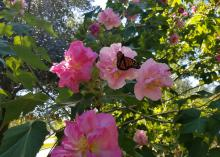 The blooms of the Confederate rose are large and change color from white to pink and bright red as they age.
