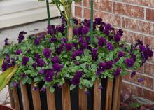 A wooden basket overflows with solid purple pansies.
