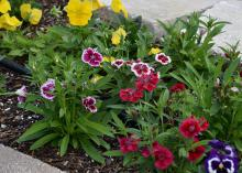 Pansies and dianthus grow in a narrow strip of land between the sidewalk and road.