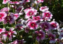 Close-up image of bicolored pink dianthus flowers.
