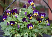 Purple viola flowers grow in a container.