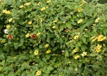 A black-eyed Susan vine covering a fence features yellow flowers with the occasional orange one sprinkled in.